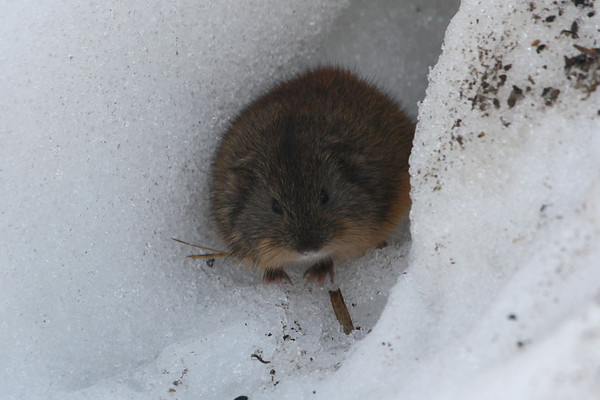 """One of the many Brown Lemmings peering out from the snow near Barrow. <div id=""""caption_tourlink"""" align=""""right""""><br>[photo © Chris Benesh]</div>"""