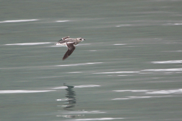 """Sailing over the glacial waters of Aialik Bay, this Kittlitz's Murrelet shows its distinctive white-tipped secondaries during our boat trip out of Seward to the Kenai Fjords. <div id=""""caption_tourlink"""" align=""""right""""><br>[photo © Chris Benesh]</div>"""