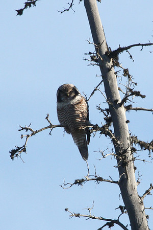 "One of the most highly sought after birds of Alaska, this Northern Hawk Owl showed nicely for us in Denali. <div id=""caption_tourlink"" align=""right""><br>[photo © Chris Benesh]</div>"
