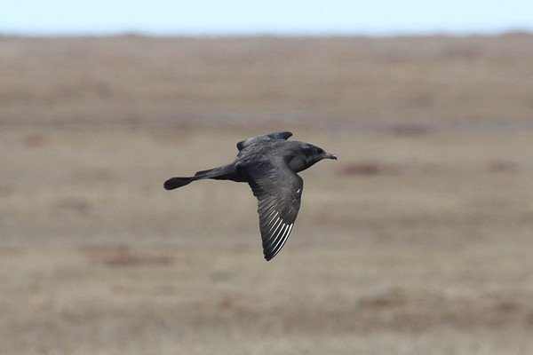 """Making lemmings quake in their boots, Darth Jaeger patrols over the tundra at Barrow, last stop on our itinerary. <div id=""""caption_tourlink"""" align=""""right""""><br>[photo © Chris Benesh]</div>"""