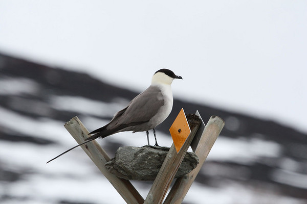 "This Long-tailed Jaeger contemplates the recently fallen snow. <div id=""caption_tourlink"" align=""right""><br>[photo © Chris Benesh]</div>"