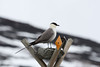 """This Long-tailed Jaeger contemplates the recently fallen snow. <div id=""""caption_tourlink"""" align=""""right""""><br>[photo © Chris Benesh]</div>"""