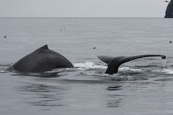 "Two of the many Humpback Whales that performed so well for us on our Kenai Fjords boat trip. <div id=""caption_tourlink"" align=""right""><br>[photo © Chris Benesh]</div>"