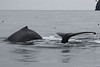 """Two of the many Humpback Whales that performed so well for us on our Kenai Fjords boat trip. <div id=""""caption_tourlink"""" align=""""right""""><br>[photo © Chris Benesh]</div>"""