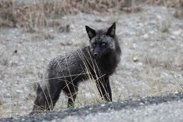 "This wonderful Silver Fox paid us a visit one morning at Denali. <div id=""caption_tourlink"" align=""right""><br>[photo © Chris Benesh]</div>"