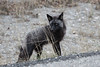 """This wonderful Silver Fox paid us a visit one morning at Denali. <div id=""""caption_tourlink"""" align=""""right""""><br>[photo © Chris Benesh]</div>"""