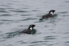 "Ancient Murrelet is one of the most attractive alcids going, and we had wonderful views on the Kenai Fjords boat trip out of Seward. <div id=""caption_tourlink"" align=""right""><br>[photo © Chris Benesh]</div>"