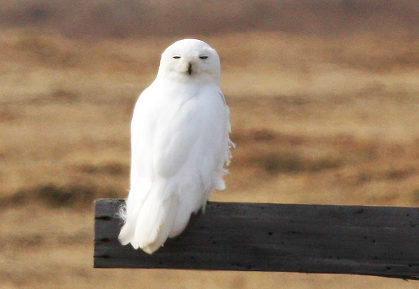 "We had lots of Snowy Owls this year at Barrow. Some years they can be rather scarce, but we found no fewer than 6 nests on one day, and at the end of Freshwater Lake David counted at least 11 birds in sight simultaneously. <div id=""caption_tourlink"" align=""right""><br>[photo © George Armistead]</div>"