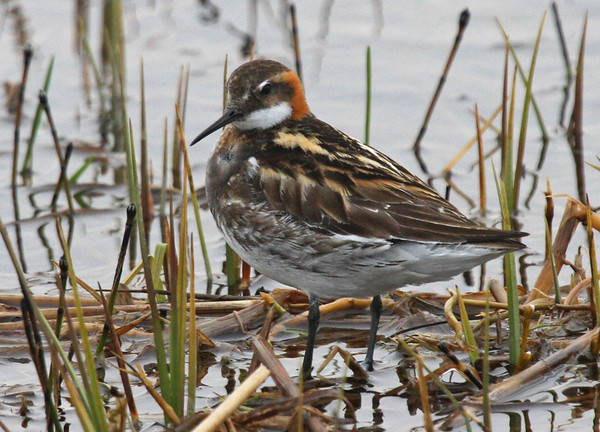 "For comparison, here is the less brightly plumaged male Red-necked Phalarope. <div id=""caption_tourlink"" align=""right""><br>[photo © George Armistead]</div>"