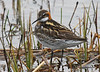 """For comparison, here is the less brightly plumaged male Red-necked Phalarope. <div id=""""caption_tourlink"""" align=""""right""""><br>[photo © George Armistead]</div>"""