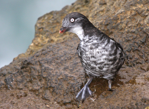 """Surely there are few birds more fussy or adorable than the Least Auklet. Their parakeet-like chatterings are a constant sound along the rocky coasts of St. Paul, and the birds themselves are an endless source of entertainment. <div id=""""caption_tourlink"""" align=""""right""""><br>[photo © George Armistead]</div>"""