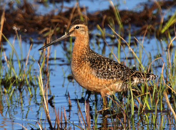 "A super-looking shorebird, the Long-billed Dowitcher is one of the most common breeding birds around Barrow. <div id=""caption_tourlink"" align=""right""><br>[photo © George Armistead]</div>"