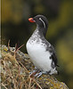 """The peculiar bill structure of the Parakeet Auklet, a common breeder on the cliffs of St. Paul, is thought perhaps to be an adaptation for handling jellyfish. <div id=""""caption_tourlink"""" align=""""right""""><br>[photo © George Armistead]</div>"""