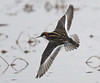 """Red-necked Phalaropes are one of four breeding species of shorebirds on St. Paul Island. <div id=""""caption_tourlink"""" align=""""right""""><br>[photo © George Armistead]</div>"""