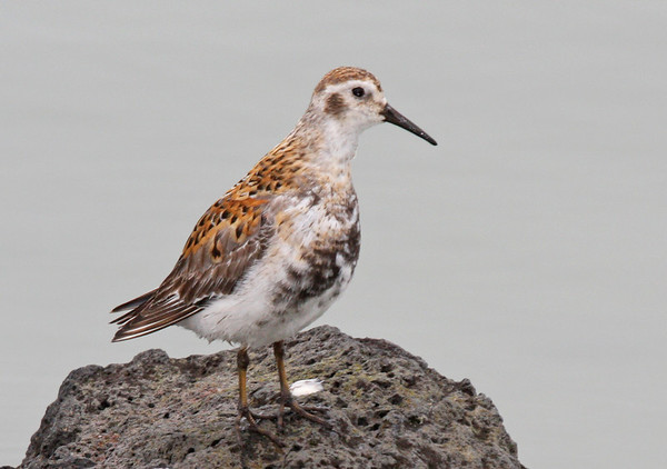 "Here is another one of the four breeding species of shorebirds on St. Paul. If you see a bird flush from a roadside, it is usually either one of these or a Lapland Longspur. They are certainly among the most ubiquitous birds on the island, but the subspecies of Rock Sandpiper that nests here is an endemic breeder. The nominate <i>C. p. ptilocnemis</i> breeds only here but winters along the Gulf of Alaska. The mainland form <i>C.p. tschuktschorum</i> (say that five times fast!) passes through only as a migrant. <div id=""caption_tourlink"" align=""right""><br>[photo © George Armistead]</div>"