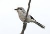 """Northern Shrike is another bird we usually see on this trip, but we're never quite sure where we are going to find it. Nome is a pretty good place to encounter them. Our first visited us as we got off the plane at the airport. This bird was along the Council Road. <div id=""""caption_tourlink"""" align=""""right""""><br>[photo © George Armistead]</div>"""
