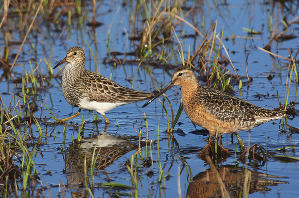 "The Pectoral Sandpiper and a Long-billed Dowitcher strollin' at Freshwater Lake. <div id=""caption_tourlink"" align=""right""><br>[photo © George Armistead]</div>"