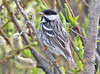 "Along the Denali Highway, there is no shortage of Blackpoll Warblers. <div id=""caption_tourlink"" align=""right""><br>[photo © George Armistead]</div>"