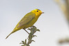 """The Wilson's Warbler is both common and beautiful. We enjoyed many good encounters with this sprite of the willow/alder habitat of the north country. <div id=""""caption_tourlink"""" align=""""right""""><br>[photo © George Armistead]</div>"""