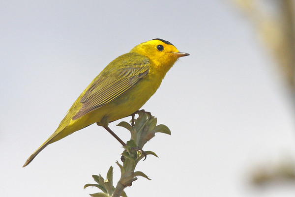 "The Wilson's Warbler is both common and beautiful. We enjoyed many good encounters with this sprite of the willow/alder habitat of the north country. <div id=""caption_tourlink"" align=""right""><br>[photo © George Armistead]</div>"