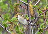 "The mechanical, buzzy trill of the Arctic Warbler is a rather commonly heard sound inland from Nome, especially along the Kougarok Road. This bird was photographed along the Denali Highway, where they arrive usually in early to mid-June. <div id=""caption_tourlink"" align=""right""><br>[photo © George Armistead]</div>"