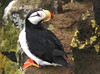 """When we arrive on St. Paul in the Pribilofs, most of the alcids are still prospecting for nest sites or in the process of mate selection or pair-bonding. The Horned Puffin is often the last species to arrive here at its breeding grounds, usually showing up in mid-May. <div id=""""caption_tourlink"""" align=""""right""""><br>[photo © George Armistead]</div>"""