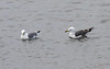 """This Black-tailed Gull (right of the Black-legged Kittiwake) was an overdue 1st record for the Pribilofs and a genuine rarity, with still few records for Alaska. <div id=""""caption_tourlink"""" align=""""right""""><br>[photo © George Armistead]</div>"""