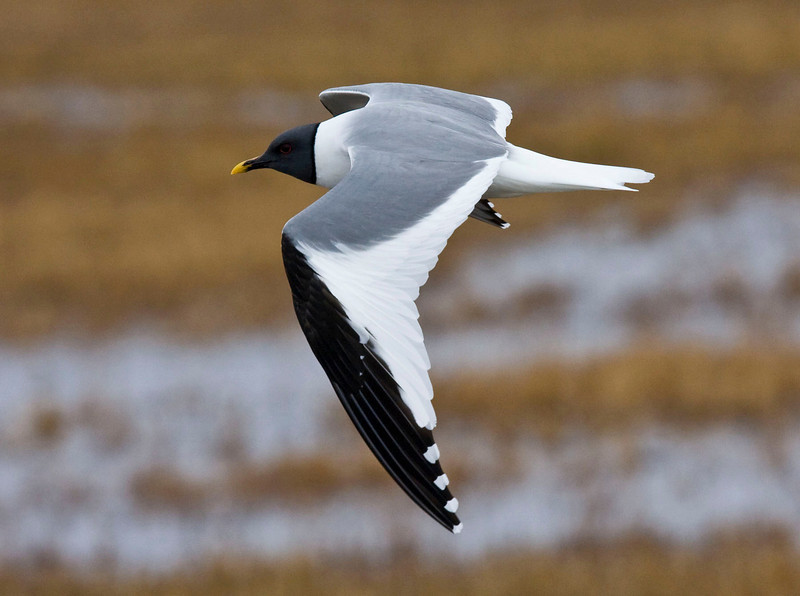 Few gulls are more handsome than the Sabine's Gull. Most years we find a few around Barrow, and this year it was that way as well.  (photo by guide George Armistead)