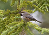 From the Pribilof Islands, our tour moves next to the Denali area, rich in boreal forest birds as well as various others. Boreal Chickadees always appear messier in life than they do in the book. They are really a rather gray bird overall, but still possess the typical chickadee charm. This one visited us during one of our stops along the gorgeous Denali Highway.  (photo by guide George Armistead)