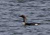A closer image of one of the Arctic Loons. (photo by guide George Armistead)
