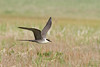 Long-tailed Jaeger: a species we see on the Pribilofs, in Denali, and also on Part II (Photo by guide Tom Johnson)