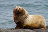 The impressive Steller's Sea Lion on the Pribilofs (Photo by guide Tom Johnson)
