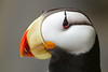 Horned Puffin on the Pribilofs (Photo by guide Tom Johnson)