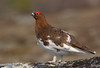 This Willow Ptarmigan's switched over into its rich summer plumage. (Photo by guide Tom Johnson)