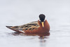 Red Phalarope in full dress -- one of the delights of heading to far-northern latitudes in early summer is seeing shorebirds in all their finery. (Photo by guide Tom Johnson)