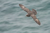 Northern Fulmar on the Pribilofs (Photo by guide Tom Johnson)