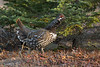 Spruce Grouse is something to look for south of Anchorage en route to Seward. (Photo by guide Tom Johnson)