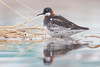 Red-necked Phalarope (Photo by guide Tom Johnson)
