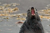 Northern Fur Seal on the Pribilofs -- we keep our distance! (Photo by guide Tom Johnson)