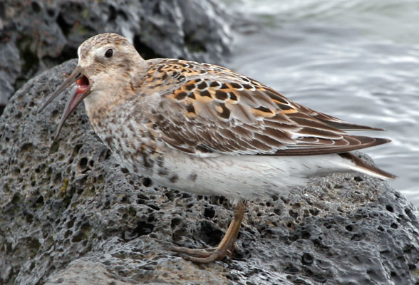 """The Pribilofs host the seabirds and the Asian vagrants, but also some local specialties. The Rock Sandpiper here is a subspecies endemic to these islands, as is the local Gray-headed Rosy-Finch, while the huge pale Winter Wrens of the grassy coasts may eventually be considered a species distinct from the mainland birds! <div id=""""caption_tourlink"""" align=""""right""""> [photo © guide Chris Benesh]</div>"""