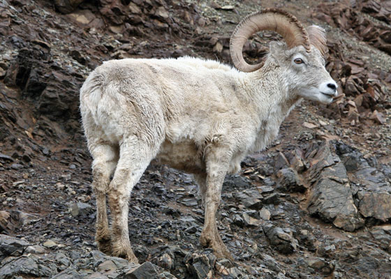 """Denali is one of North America's top spots for mammal watching, as many large mammals are common here. The big four are the Grizzly Bear, Caribou, Moose, and Dall's Sheep. The latter is a northern, and paler, relative of the Bighorn. <div id=""""caption_tourlink"""" align=""""right""""> [photo © guide Chris Benesh]</div>"""