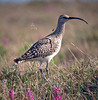 """Here is the much hoped-for Bristle-thighed Curlew, a close relative of the Whimbrel. It is somewhat tricky to identify the curlew on the ground, but it shows larger pale spots on the upperparts and a widely banded tail; the """"bristles,"""" which are long filamentous feathers, can be seen if you are close. However, in flight its pumpkin-colored rump and tail base easily separate it from the Whimbrel, as does its sweet plover-like whistle. The breeding range of the Bristle-thighed Curlew is restricted to this part of Alaska; it winters on many Pacific Islands including Hawaii. <div id=""""caption_tourlink"""" align=""""right""""> [photo © guide Dave Stejskal]</div>"""