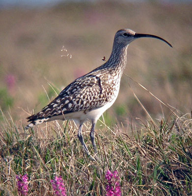 "Here is the much hoped-for Bristle-thighed Curlew, a close relative of the Whimbrel. It is somewhat tricky to identify the curlew on the ground, but it shows larger pale spots on the upperparts and a widely banded tail; the ""bristles,"" which are long filamentous feathers, can be seen if you are close. However, in flight its pumpkin-colored rump and tail base easily separate it from the Whimbrel, as does its sweet plover-like whistle. The breeding range of the Bristle-thighed Curlew is restricted to this part of Alaska; it winters on many Pacific Islands including Hawaii. <div id=""caption_tourlink"" align=""right""> [photo © guide Dave Stejskal]</div>"