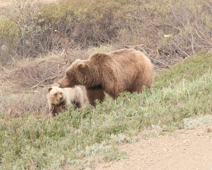 """Grizzly and cub, Denali <div id=""""caption_tourlink"""" align=""""right""""> [photo © participants Stephen & Vera Chang]</div>"""