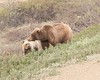 "Grizzly and cub, Denali <div id=""caption_tourlink"" align=""right""> [photo © participants Stephen & Vera Chang]</div>"