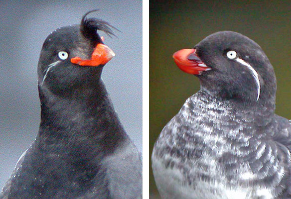 """These are two of the more elaborately ornamented relatives of the Least Auklets: a Crested Auklet seems to be facing off with a Parakeet Auklet. The bill shape differences of the various alcids in the Bering Sea are a reflection of niche separation, as they forage on different types of food. <div id=""""caption_tourlink"""" align=""""right""""> [photo © guide Megan Crewe]</div>"""