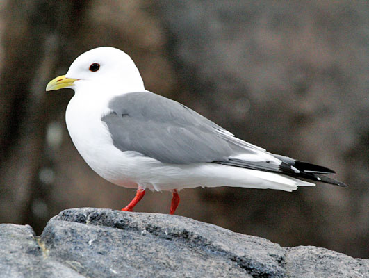 "Our first adventure is to make our way to the famed Pribilof Islands (the ""Pribs"") on a 3-hour flight out of Anchorage. The Pribs are known for their amazing concentrations for seabirds, and one of the specialities of the islands is the Red-legged Kittiwake. This rare gull is endemic to the Bering Sea. It appears to do much of its foraging at night, as is suggested by its large eyes. <div id=""caption_tourlink"" align=""right""> [photo © guide Chris Benesh]</div>"