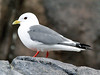 """Our first adventure is to make our way to the famed Pribilof Islands (the """"Pribs"""") on a 3-hour flight out of Anchorage. The Pribs are known for their amazing concentrations for seabirds, and one of the specialities of the islands is the Red-legged Kittiwake. This rare gull is endemic to the Bering Sea. It appears to do much of its foraging at night, as is suggested by its large eyes. <div id=""""caption_tourlink"""" align=""""right""""> [photo © guide Chris Benesh]</div>"""