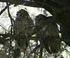 "Spotted Owls - found them! <div id=""caption_tourlink"" align=""right""> [photo © guide Dave Stejskal]</div>"