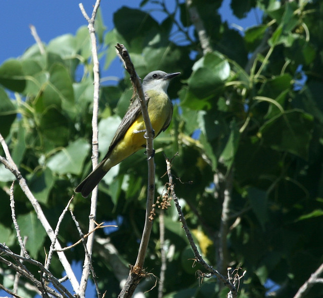 Southeast Arizona in May is a fantastic place to study all of those look-alike western kingbirds.  This Tropical Kingbird, at a local birding hotspot in Tucson, is a local specialty in s. Arizona and has been on a serious range expansion here in recent years.  (Photo by guide Dave Stejskal)